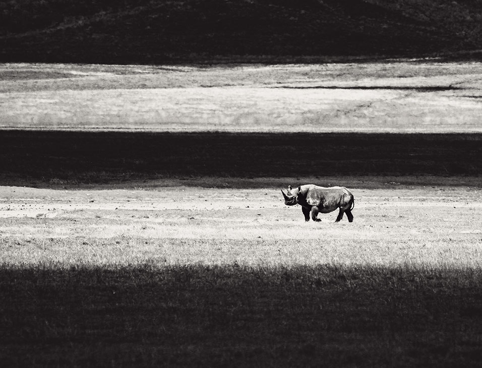 White rhinoceros in the Ngorongoro Crater in Tanzania