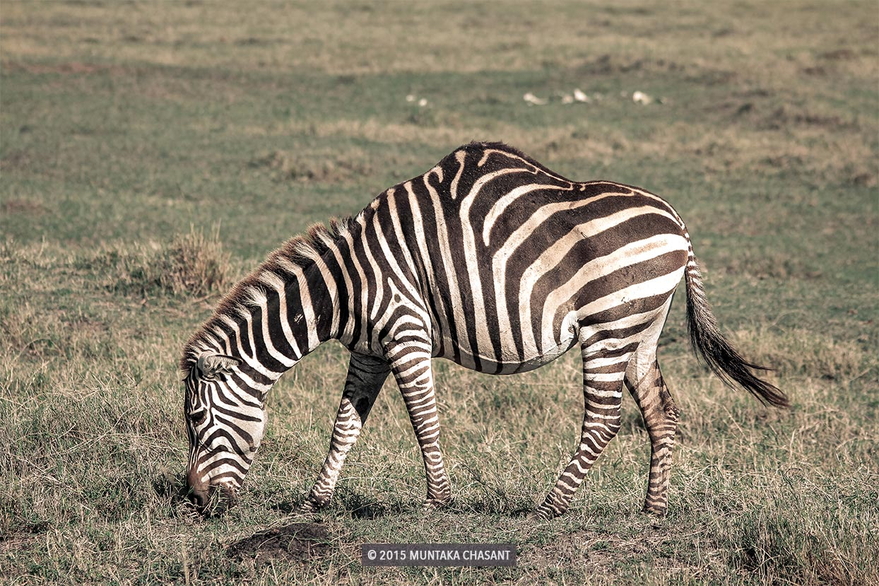 Zebra with a hump in the Ngorongoro Crater in Tanzania