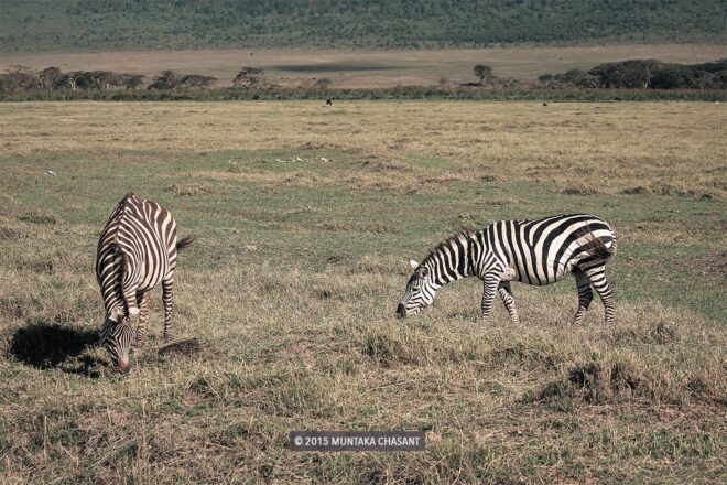 Zebra with a hump in the Ngorongoro Crater in Tanzania Photo