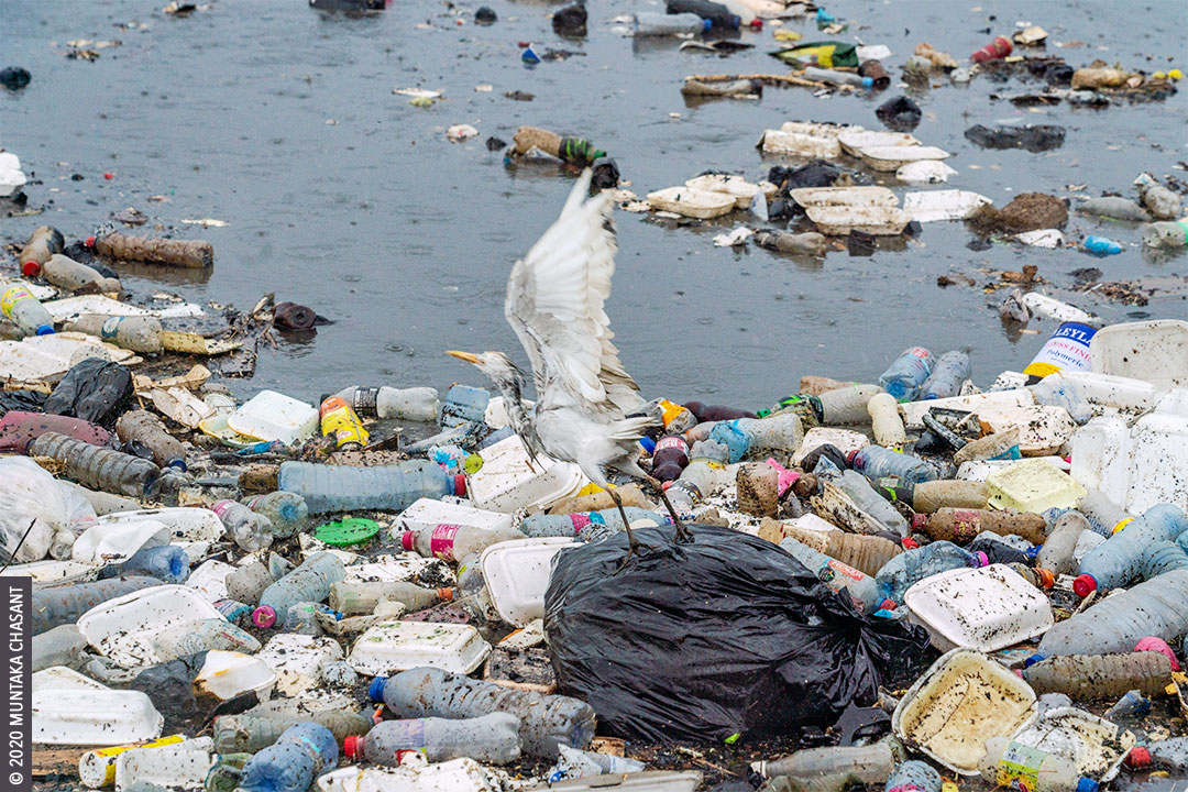 Plastic Pollution in Ghana: An Egret about to take flight from plastic waste heading to the Gulf of Guinea, part of the eastern tropical Atlantic Ocean. © 2020 Muntaka Chasant