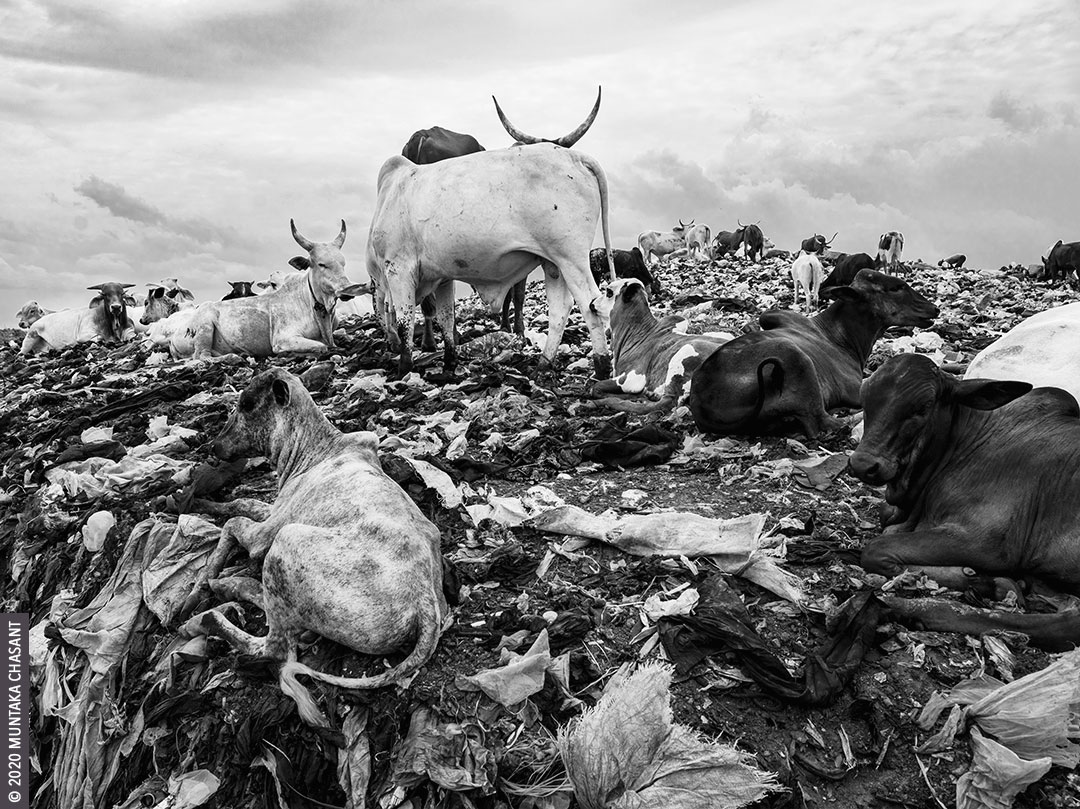 A herd of African cattle rests in a dumpsite. Accra, Ghana. Copyright © 2020 Muntaka Chasant