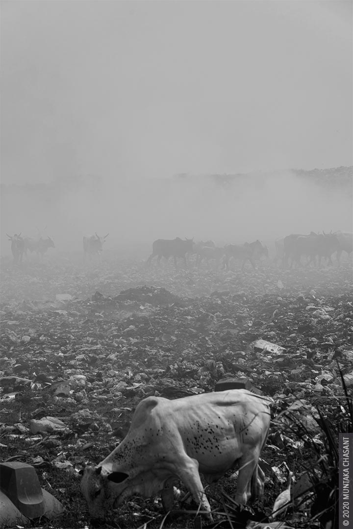 A cow forages on an e-waste dumping area on the margins of the Agbogbloshie scrapyard while a herd of cattle makes their way through a cloud of thick toxic smoke from the burning of insulated wires for the copper inside. Agbogbloshie, Accra, Ghana. Copyright © 2020 Muntaka Chasant