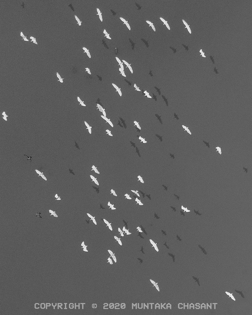 Drone Photography with DJI Mavic Air 2: Egrets fly over the polluted Korle Lagoon with their shadows cast on the water. Accra, Ghana. Copyright © 2020 Muntaka Chasant