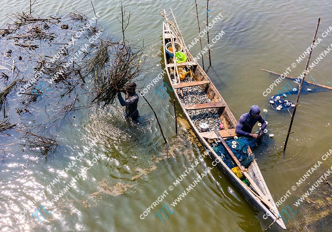 Atidza or Acadja Brush Park Fishing: Urban poor fishermen use mangrove brush woods to create artificial habitat to attract Blackhin Tilapia (sarotherodon melanotheron) in the Densu River in Accra, Ghana. Copyright © 2020 Muntaka Chasant