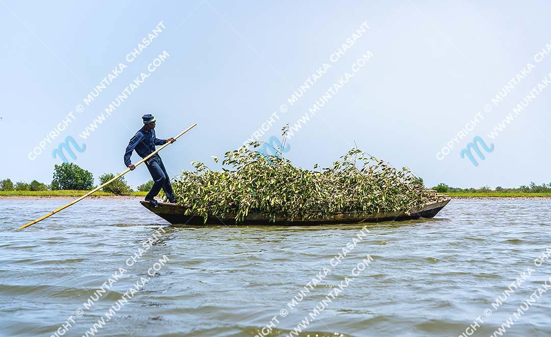 Mangroves in Ghana: Fisherman in Accra transports felled black mangroves (Avicennia germinans) to construct Atidza or Acadja brush parks. Atidza/Acadja brush parks create artificial habitats to entrap many fish species, including blackchin tilapia. Copyright © 2020 Muntaka Chasant