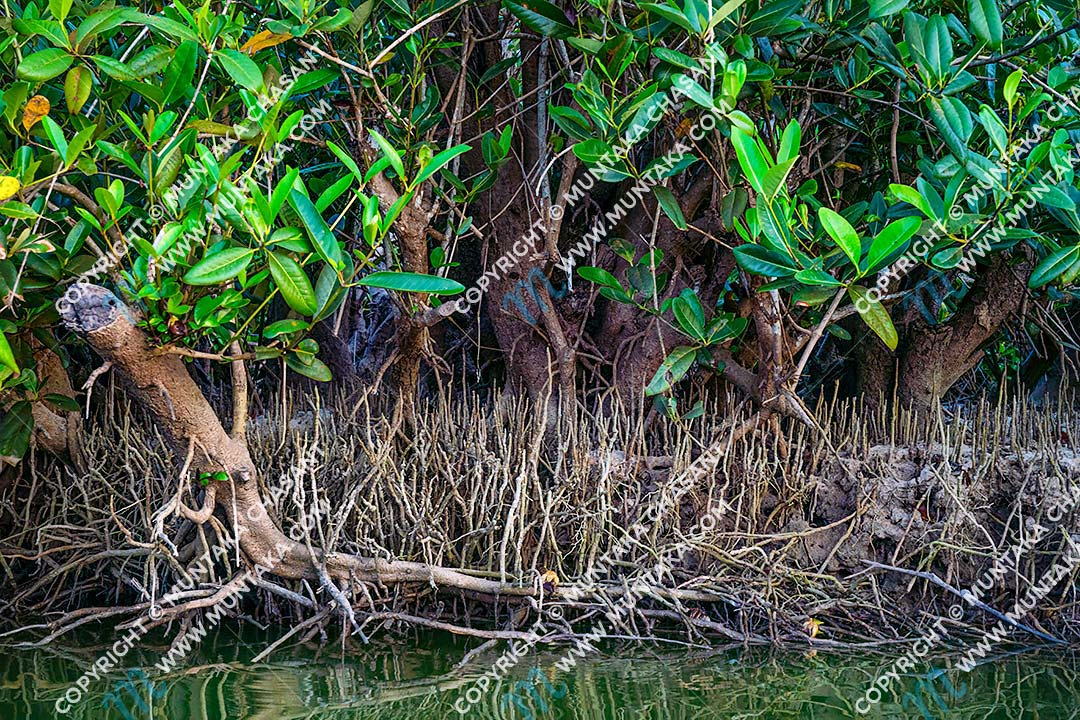 Avicennia germinans (black mangroves) trees in a mangrove vegetation area in Accra, Ghana. Copyright © 2020 Muntaka Chasant