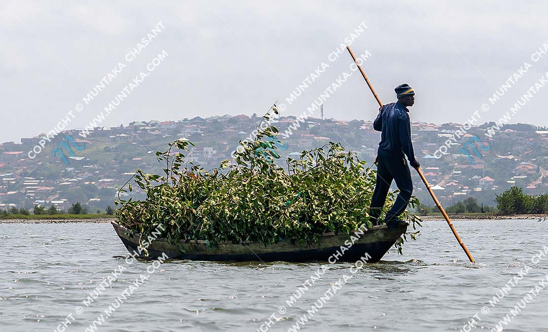 Urban poor man cut down black mangrove branches and transporting the branches against a hilly residential area (McCarthy Hills) in Accra, Ghana. Copyright © 2020 Muntaka Chasant