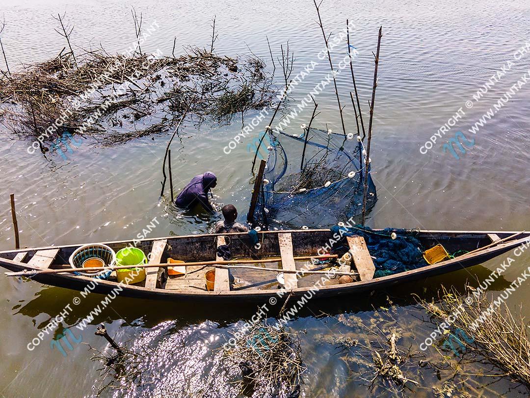 Brush Park Fishing in Ghana: Aerial view of urban poor fishermen engaged in Atidza/Acadja brush park fishing — to catch Blackchin Tilapia — in the Densu River in Accra, Ghana. Copyright © 2020 Muntaka Chasant