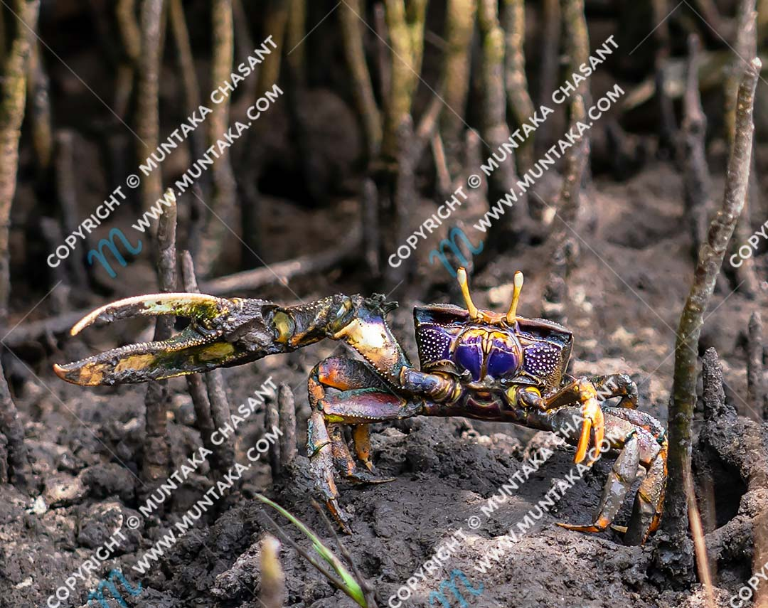 Fiddler crab (Uca tangeri): A purple male fiddler crab says hi from the aerial roots of black mangrove trees. Male fiddler crabs have one large claw and use it to attract females. They also use the large bright claw as a weapon during courtship conflicts with other males. Accra, Ghana. Copyright © 2020 Muntaka Chasant