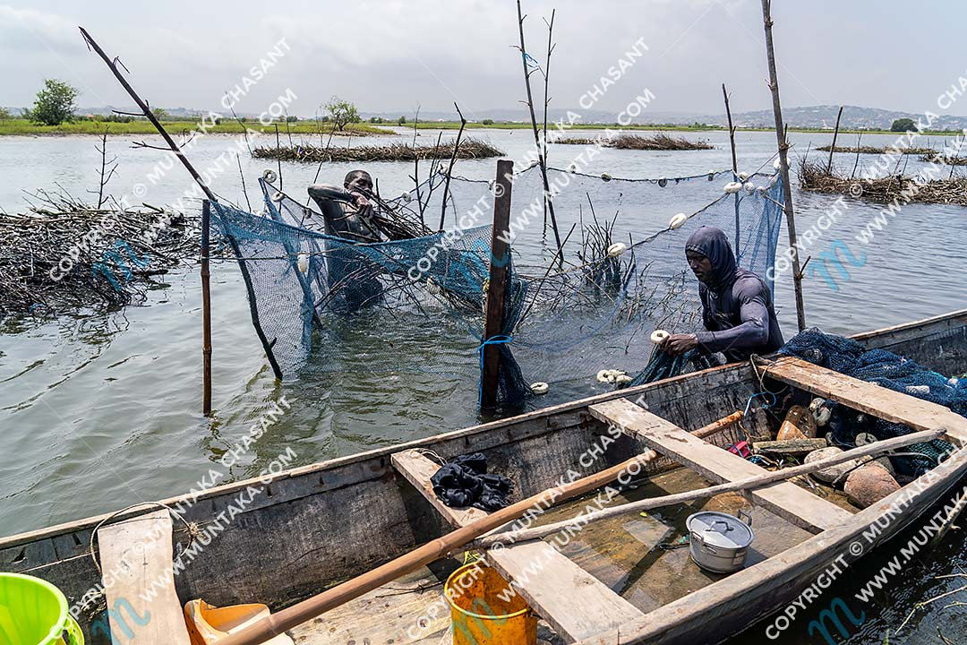 Fishing in Ghana: Joseph Akagbo (left), 49 years, and Selassie Tsetsogbi (right), 48, engaged in Atidza/Acadja fishing in the Densu Delta in the Ga South Municipality, Accra, Ghana. They used black mangrove brush bundles to create artificial habitat, which attracted wild Blackchin Tilapia. Copyright © 2020 Muntaka Chasant