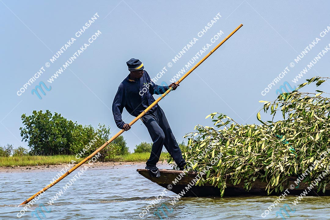 Man transports black mangrove branches over the Densu River to construct brush parks. Accra, Ghana. Copyright © 2020 Muntaka Chasant