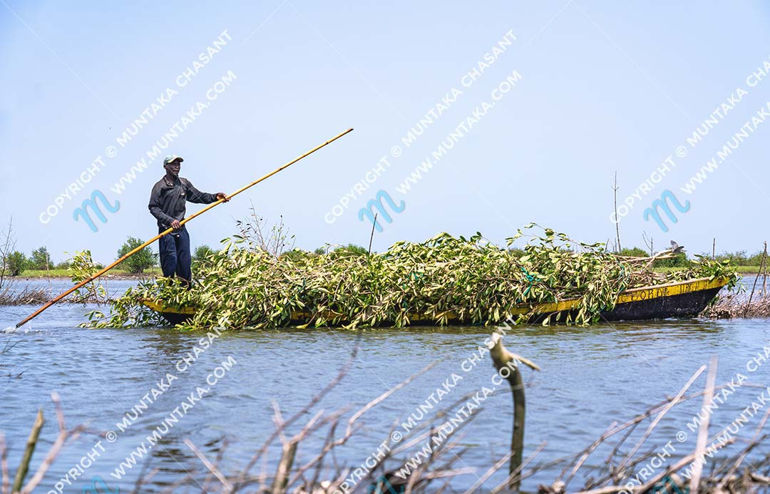 Man had cut down black mangrove trees and transporting the branches on a wooden canoe to construct Atidza or Acadja brush parks. Copyright © 2020 Muntaka Chasant