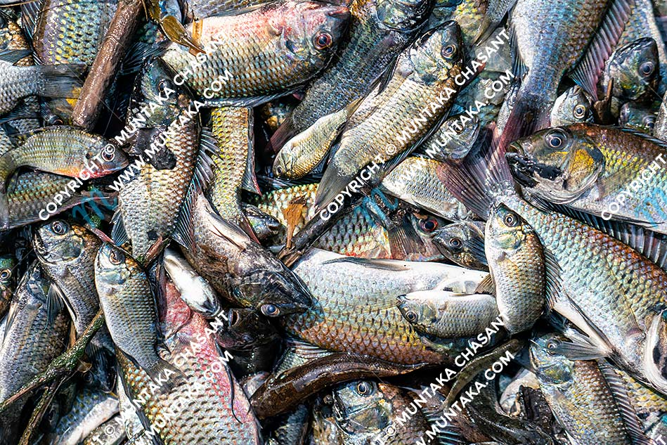 Freshly caught Blackchin Tilapia (Sarotherodon melanotheron). Accra, Ghana. Copyright © 2020 Muntaka Chasant