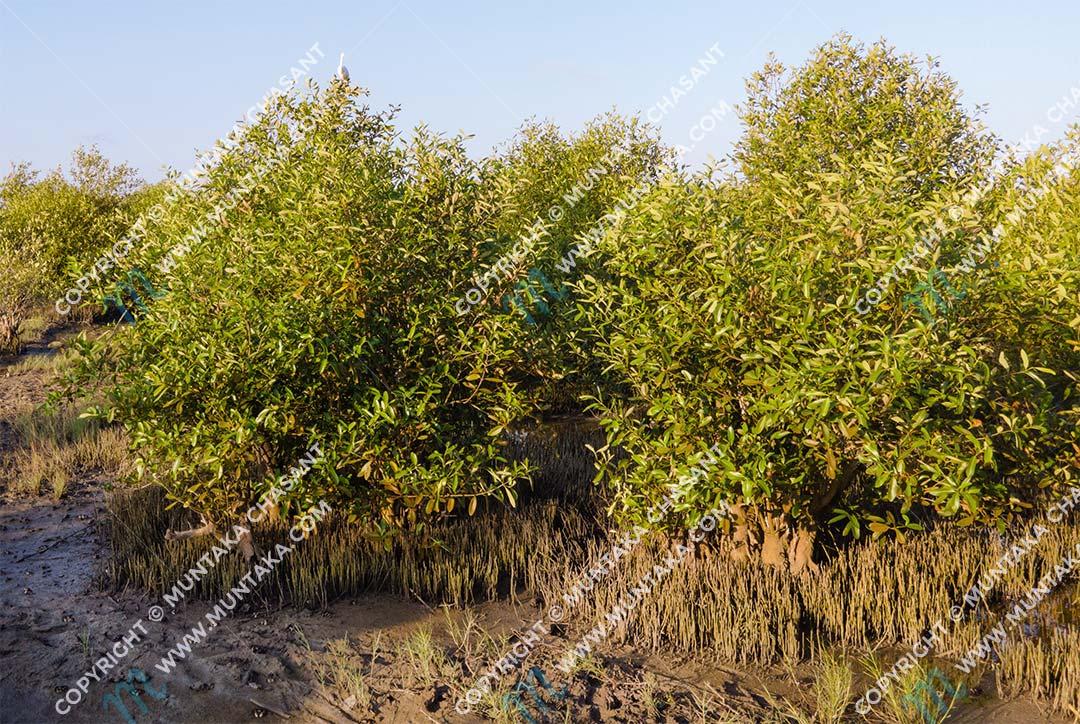 Black mangroves (Avicennia-germinans) Copyright © 2020 Muntaka Chasant