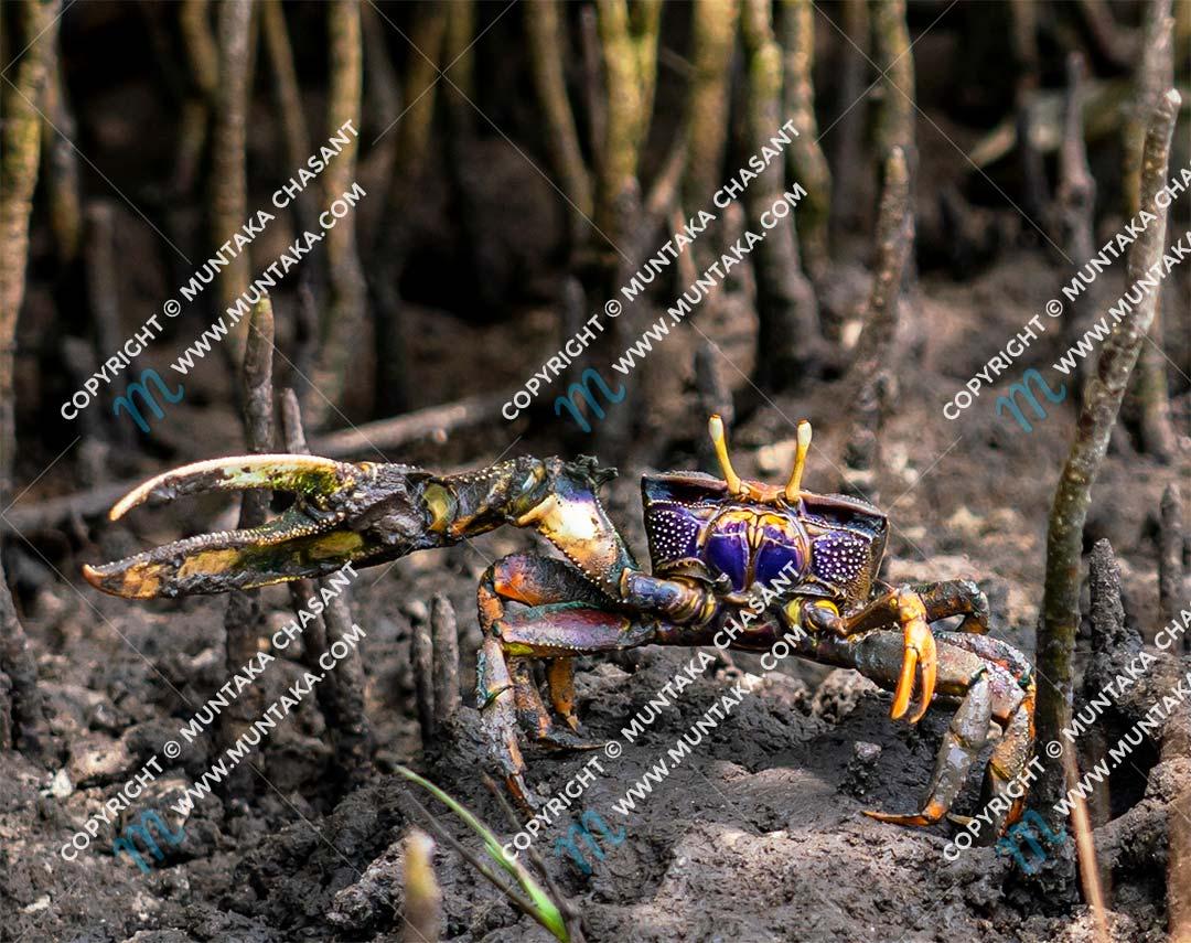 Male fiddler crab (Uca tangeri) in Ghana. Copyright © 2020 Muntaka Chasant