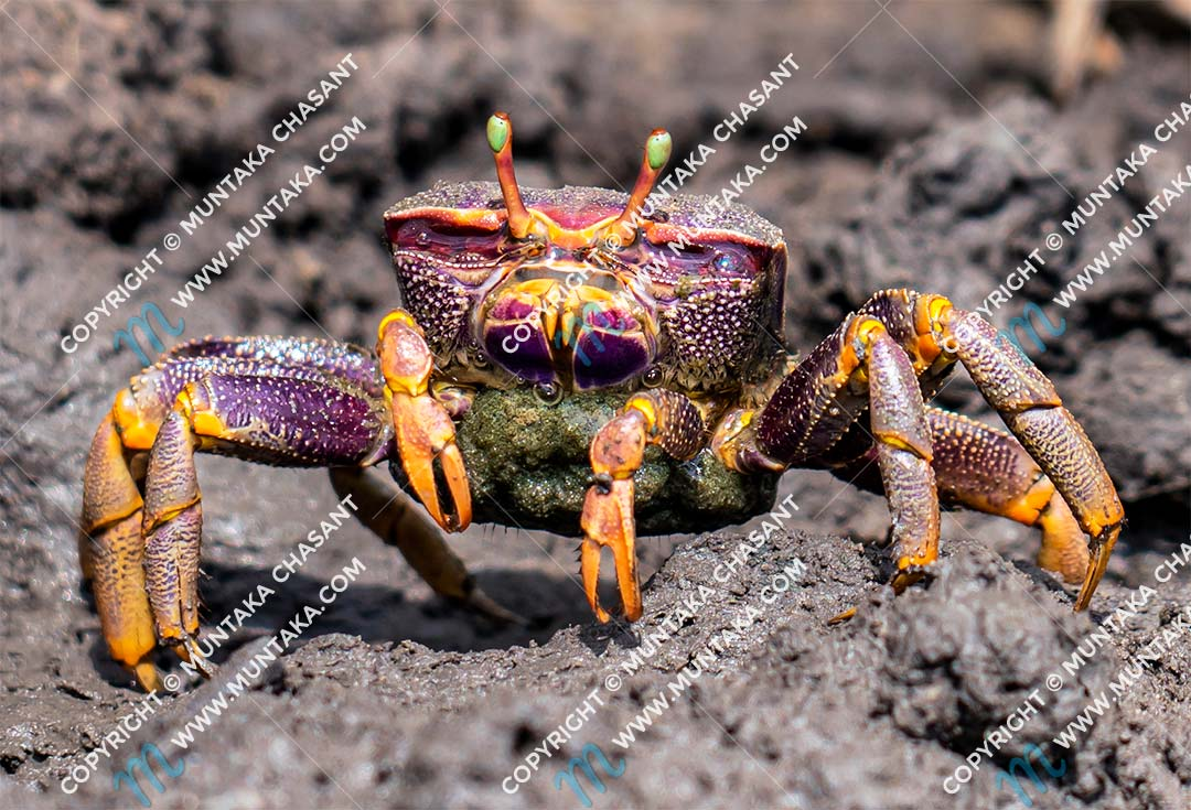 Female fiddler crab (Uca tangeri) in Accra, Ghana. Copyright © 2020 Muntaka Chasant
