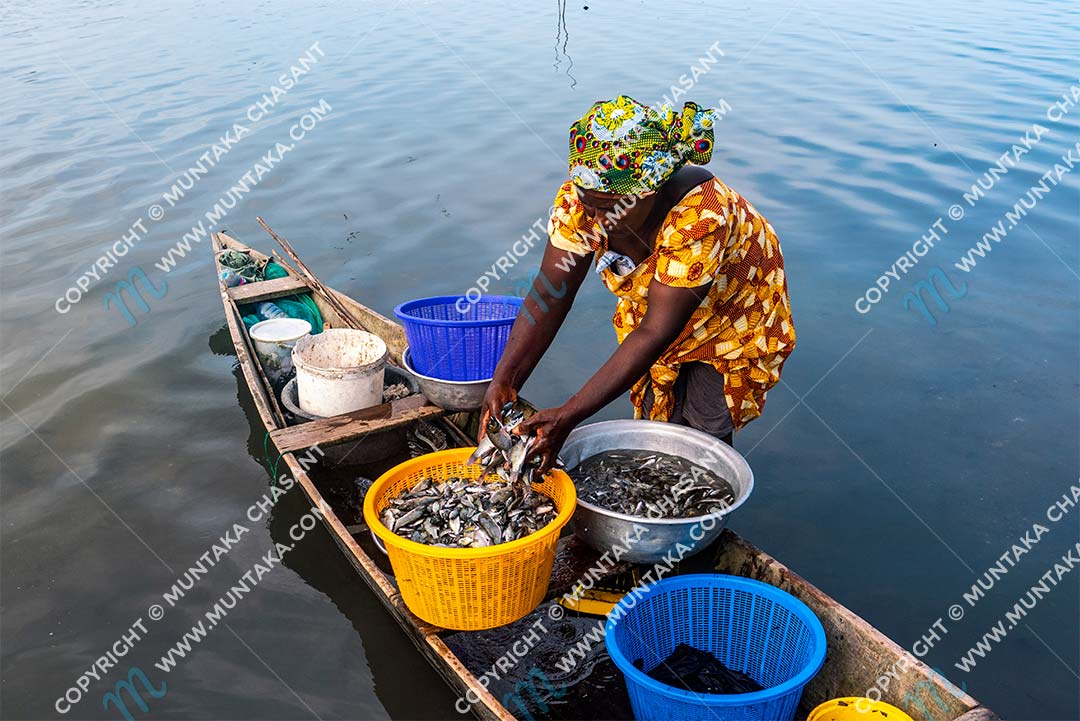 Inland fisheries and livelihoods: urban poor woman process blackchin tilapia in the Densu River. Inland fisheries in Ghana support thousands of livelihoods. Copyright © 2020 Muntaka Chasant