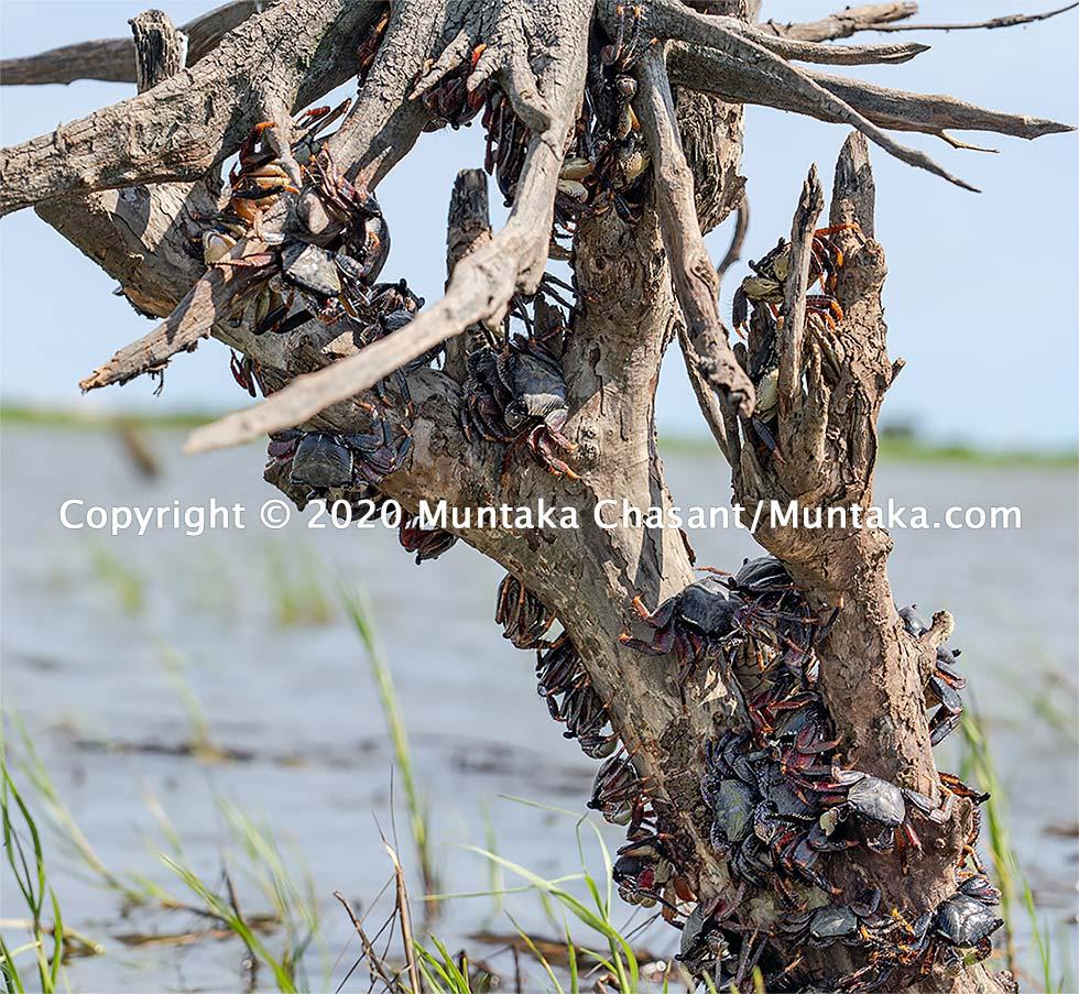 Mangrove crabs hang onto a dead black mangrove tree branch. Accra, Ghana. Copyright © 2020 Muntaka Chasant