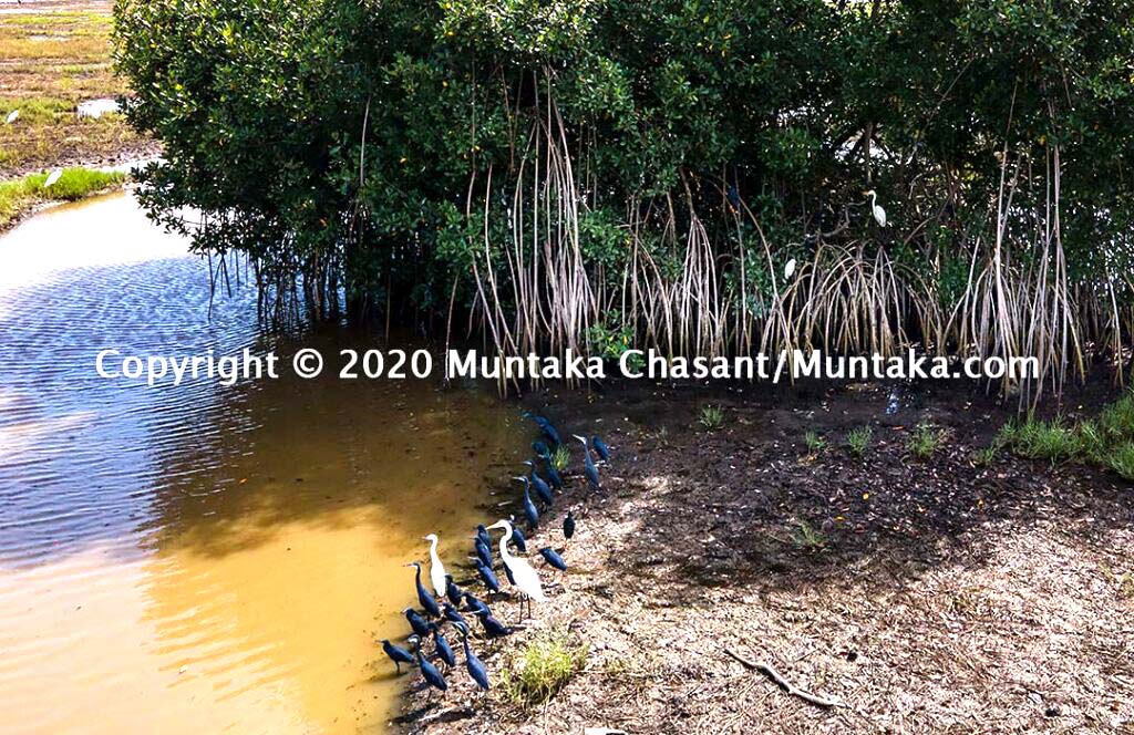 Mangroves in Ghana: Great egrets, little egrets, black herons, and western reef herons under the shade of one of the last remaining red mangrove tree (Rhizophora racemosa) around the Densu Delta. Mangroves are known to support rich biodiversity. Copyright © 2020 Muntaka Chasant