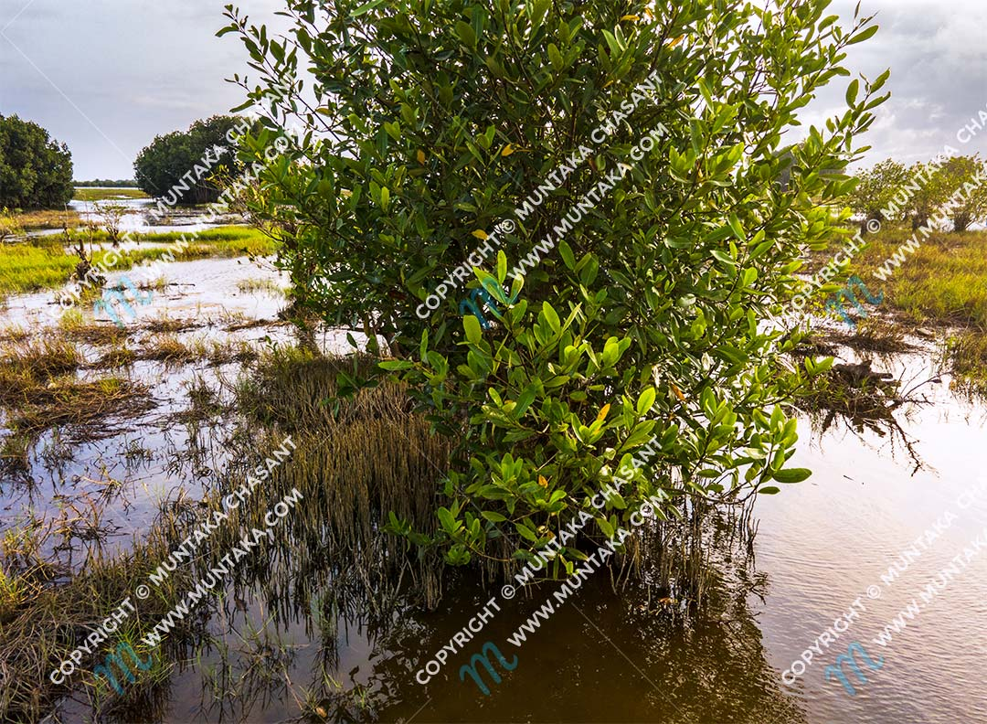 Black mangrove tree (avicennia-germinans). Copyright © 2020 Muntaka Chasant