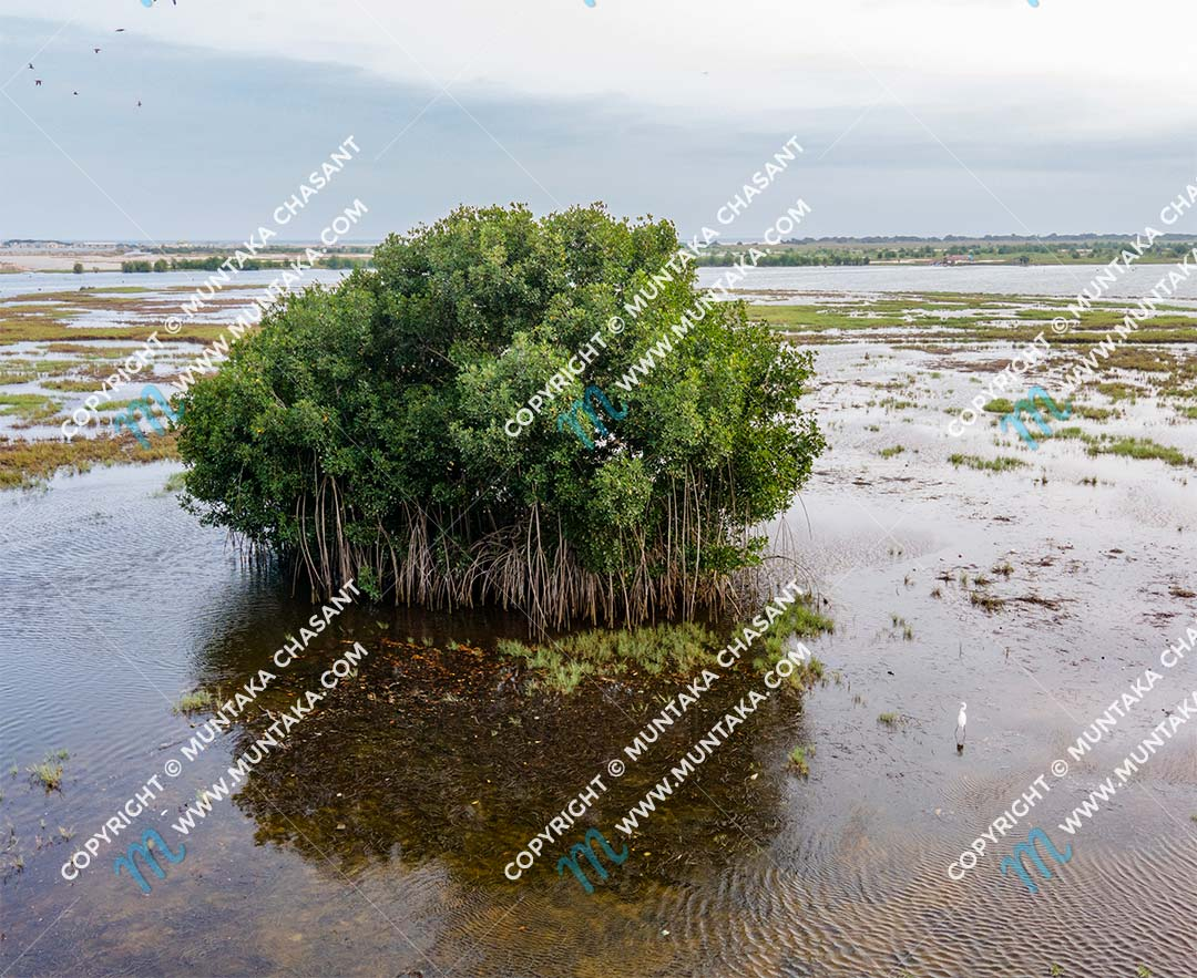 A lone red mangrove (Rhizophora racemosa) keep watch. There were thousands of them around the Densu delta. There are now only around 16 of them left. Copyright © 2020 Muntaka Chasant