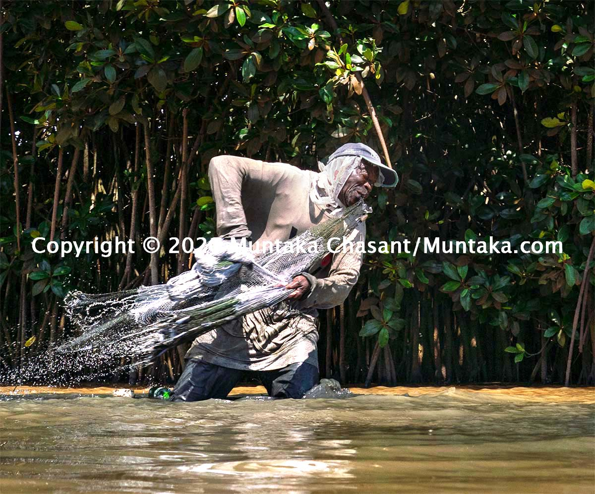 Older African man about to cast a net near a mangrove tree. Mangrove forests are known to support fisheries jobs, but they are under threat in many countries, including Ghana. Copyright © 2020 Muntaka Chasant
