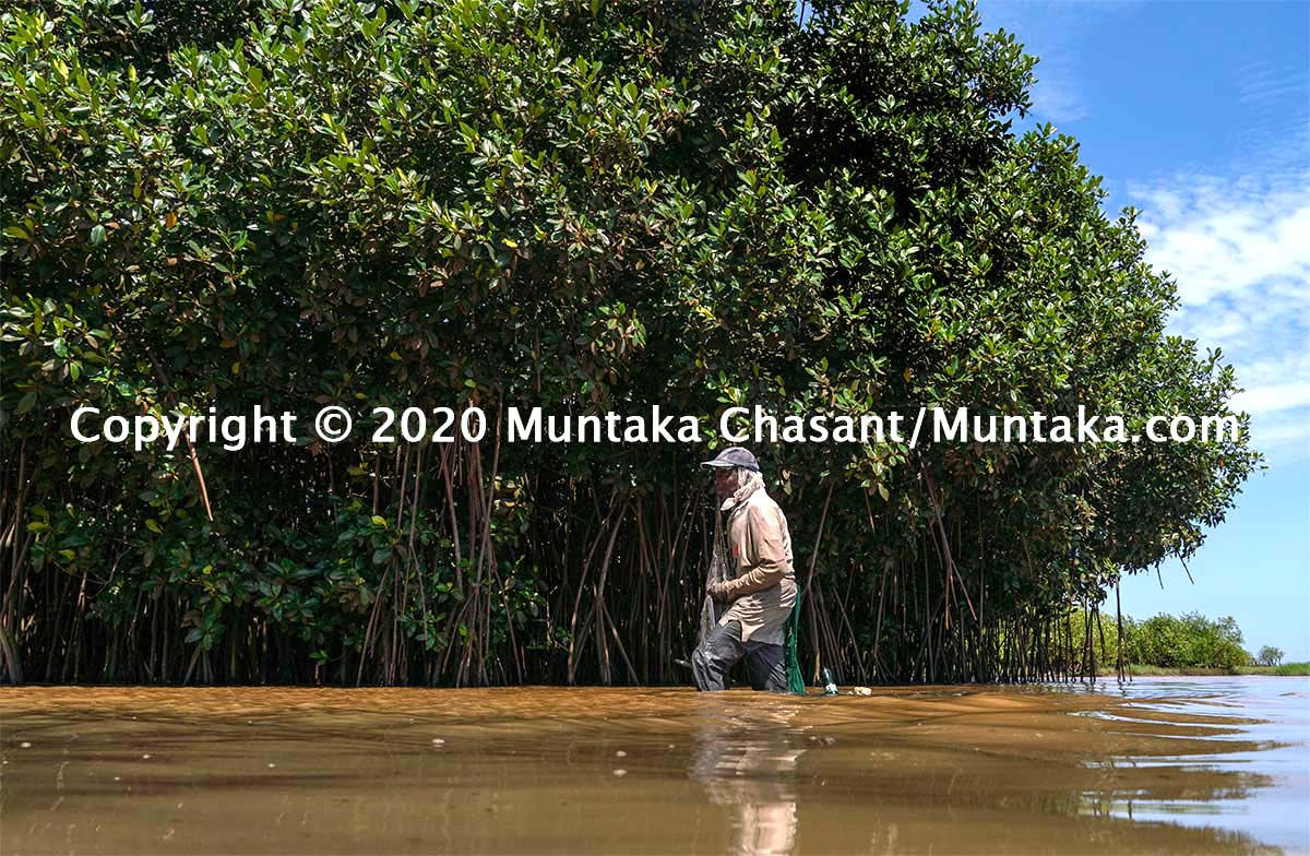Mangrove and fisheries: 76-year-old urban poor man fishes near mangrove trees. Mangroves are home to a variety of fish species, including blackchin tilapia. Copyright © 2020 Muntaka Chasant