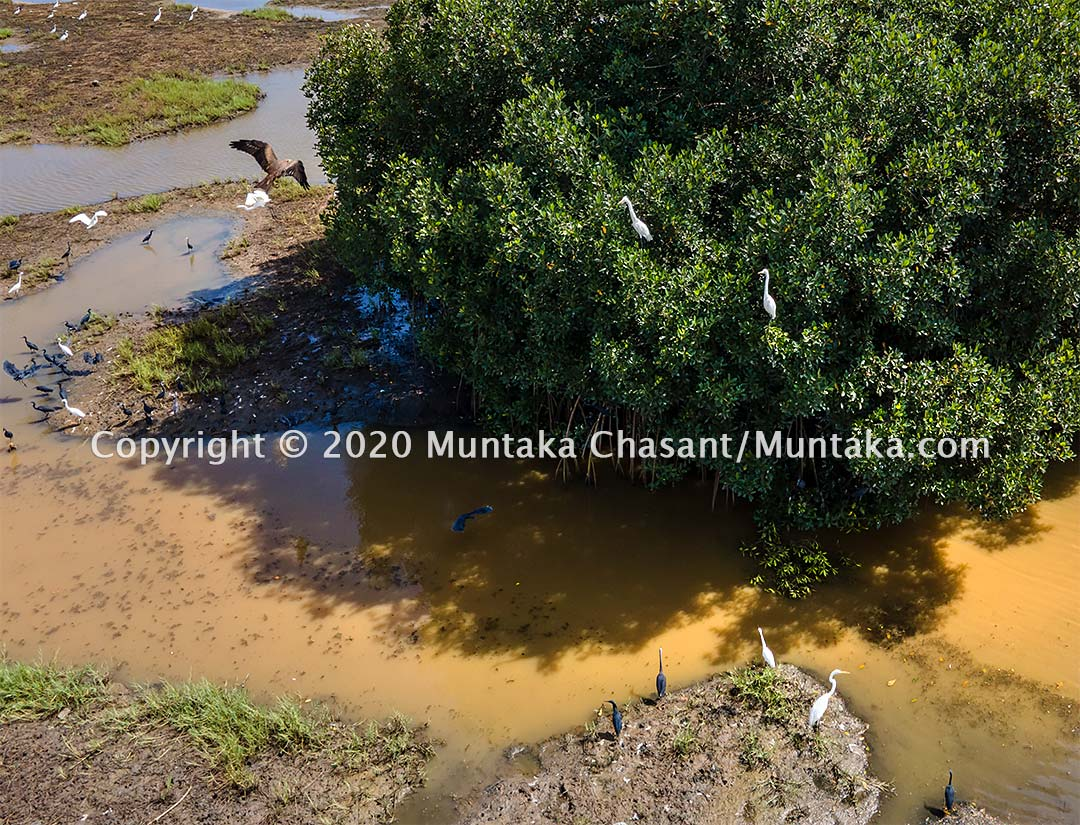 Mangroves provide vital habitats for wildlife, including birds. But they are under threat. There were thousands of red mangroves around the Densu Delta in the past. There are only around 16 trees left standing now. Copyright © 2020 Muntaka Chasant