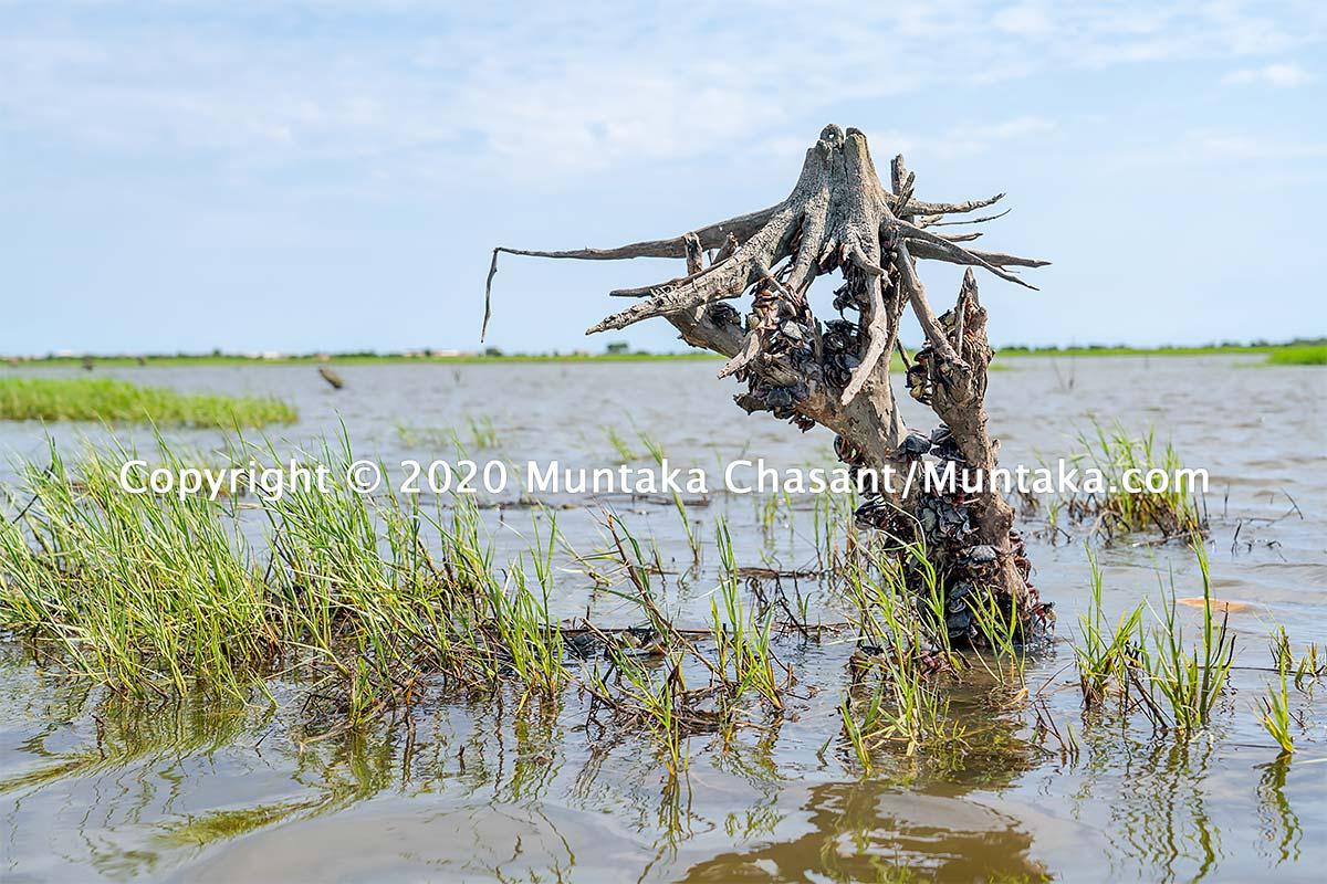 Mangrove crabs in Ghana. Copyright © 2020 Muntaka Chasant