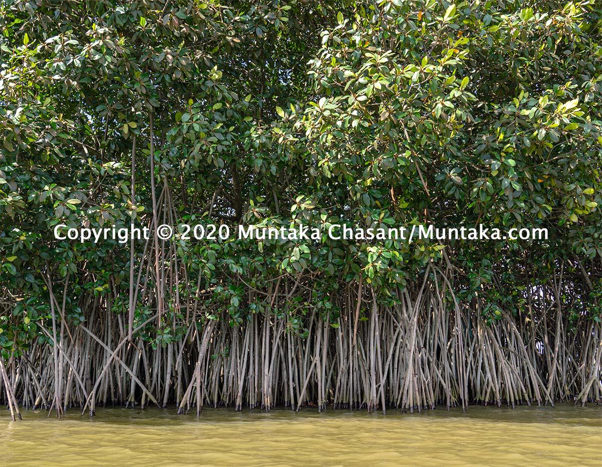 Red mangrove (Rhizophora racemosa) in Ghana. Copyright © 2020 Muntaka Chasant
