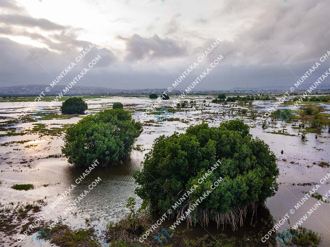 Mangroves in Ghana: There were thousands of red mangroves (Rhizophora racemosa) around the Densu Delta in the past. There are only around 16 left now, having been cut down mainly for fish traps and fuelwood. Mangrove habitats provide a number of important ecosystem services, including holding coastal sediments in place. Copyright © 2020 Muntaka Chasant