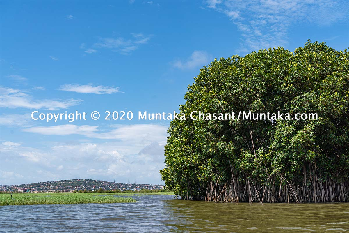One of the last remaining mangrove trees against McCarthy Hills residential areas in Accra, Ghana. Copyright © 2020 Muntaka Chasant