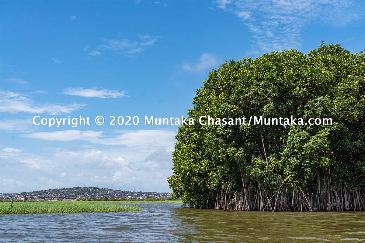 Mangroves in Ghana. Copyright © 2020 Muntaka Chasant