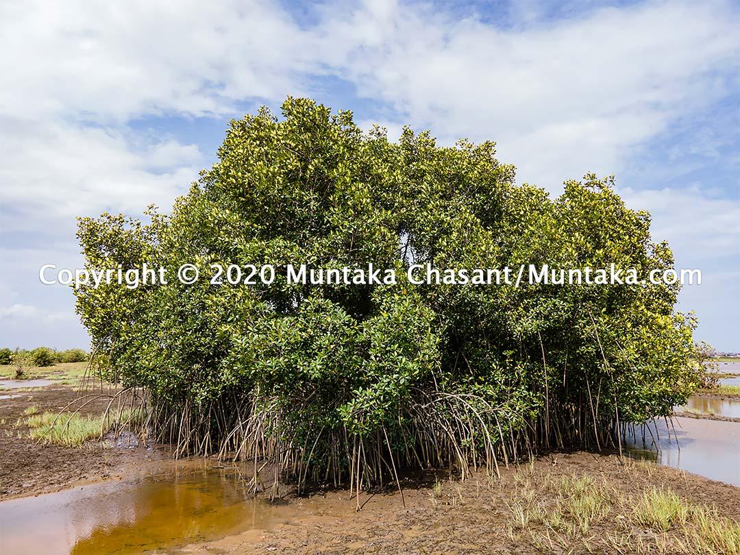 A lone mangrove tree in Accra, Ghana. Copyright © 2020 Muntaka Chasant