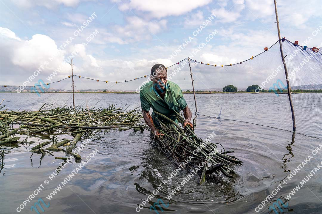 Urban poor fisherman removes mangrove brush bundles from a brush park. David hadn't harvested this Atidza trap for 4 weeks. Fishermen in the area regularly cut down mangrove trees to use them for fish traps. This unsustainable practice has degraded the mangrove vegetation around the Densu Delta in Accra, Ghana's capital city. Copyright © 2020 Muntaka Chasant
