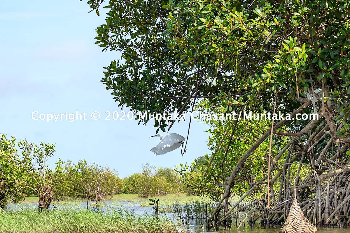 Mangroves support rich biodiversity. Copyright © 2020 Muntaka Chasant