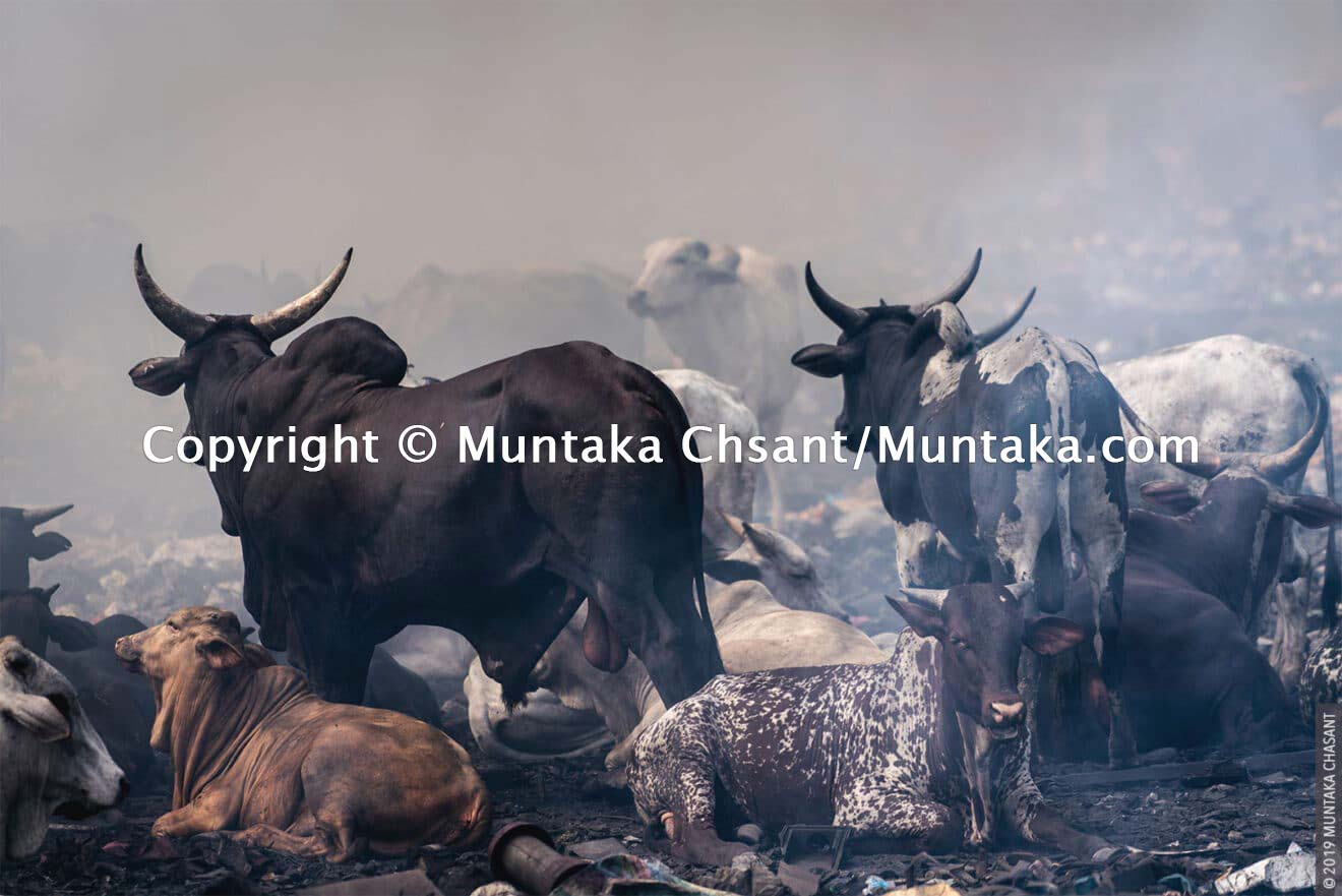 Cattle resting near the smoking fires of burning copper wires at Agbogbloshie, Ghana. There are several cattle ranches around the Agbogbloshie e-waste dump. Cattle are regularly spotted chewing on something on the e-waste dump. Their meat ends up in Ghana's food chain, and researchers fear their meat may be contaminated. © 2019 Muntaka Chasant