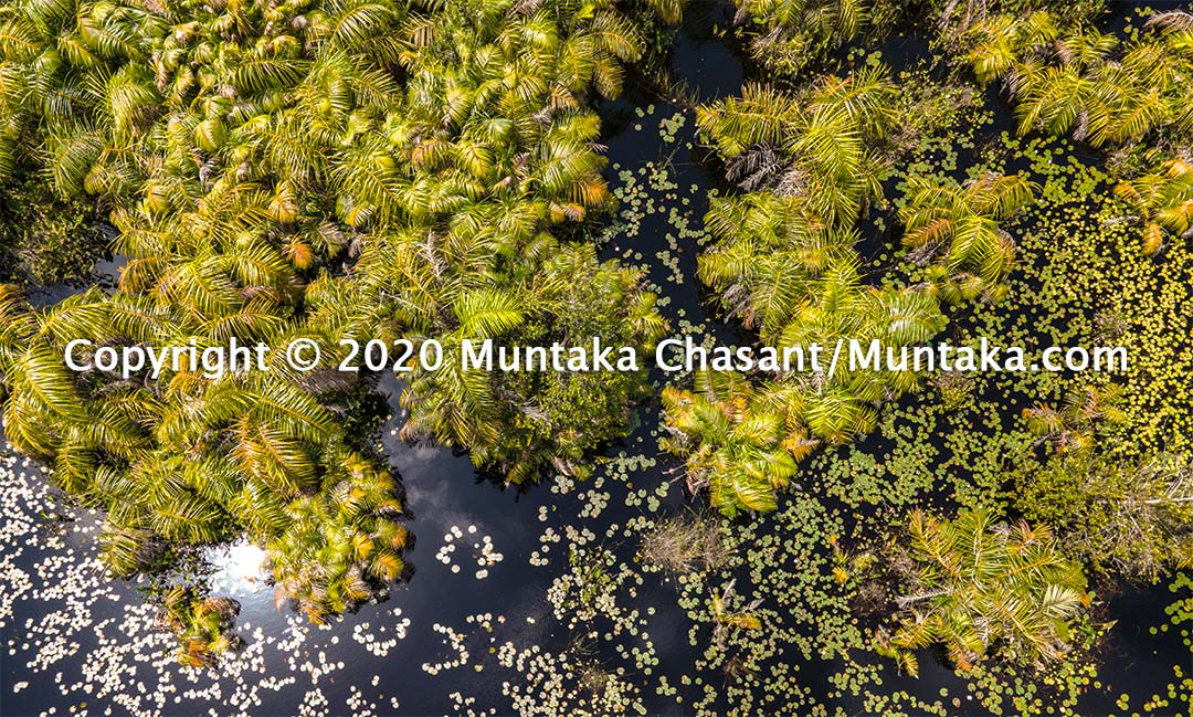 Aerial view of raffia palm trees and water lilies in the Amanzuri wetlands in Western Ghana. Copyright © 2020 Muntaka Chasant
