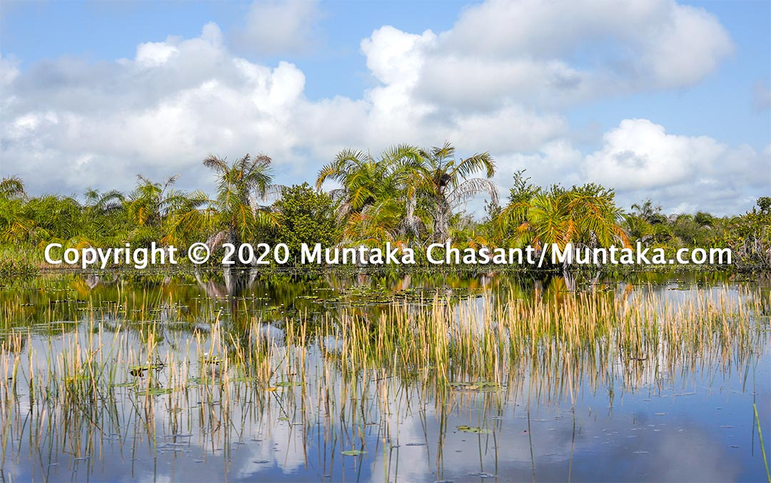 Amanzuri wetlands in Western Ghana. Many plants and animal species live in the Amanzuri wetlands. Copyright © 2020 Muntaka Chasant
