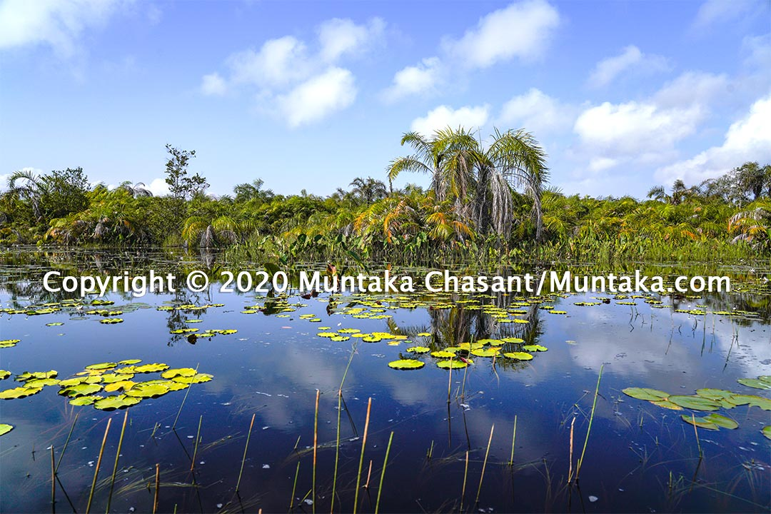 Raffia palm trees and water lilies in the Amanzuri wetlands. Copyright © 2020 Muntaka Chasant