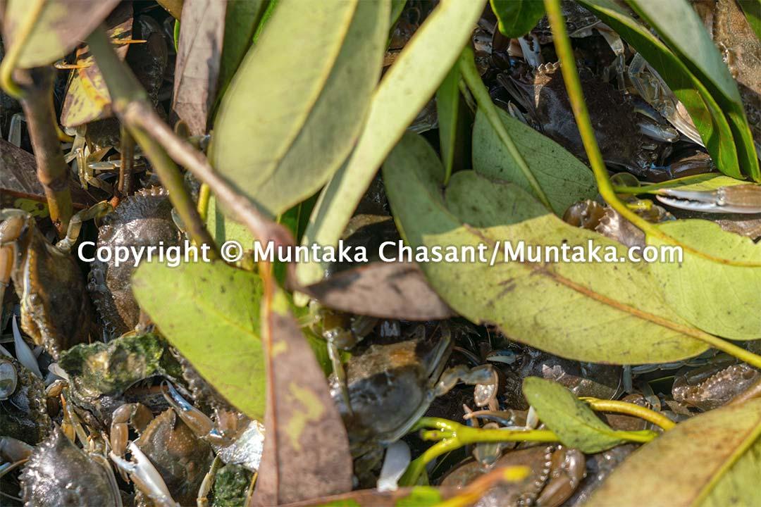 Live blue crabs. Copyright © Muntaka Chasant