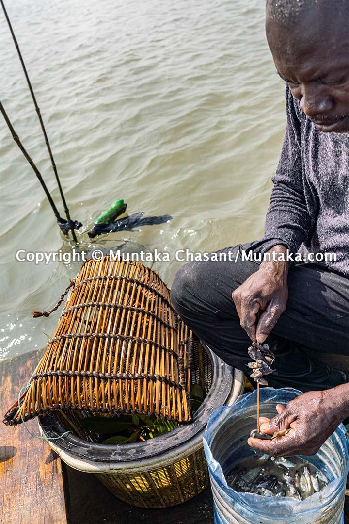 Man sets a bait to catch blue crabs. Copyright © 2020 Muntaka Chasant
