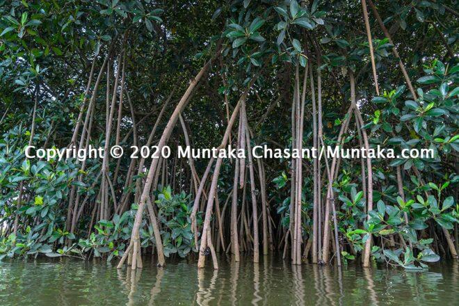Mangroves in Ghana: Photo of a red mangrove tree (Rhizophora racemosa) in Ghana. Copyright © 2020 Muntaka Chasant