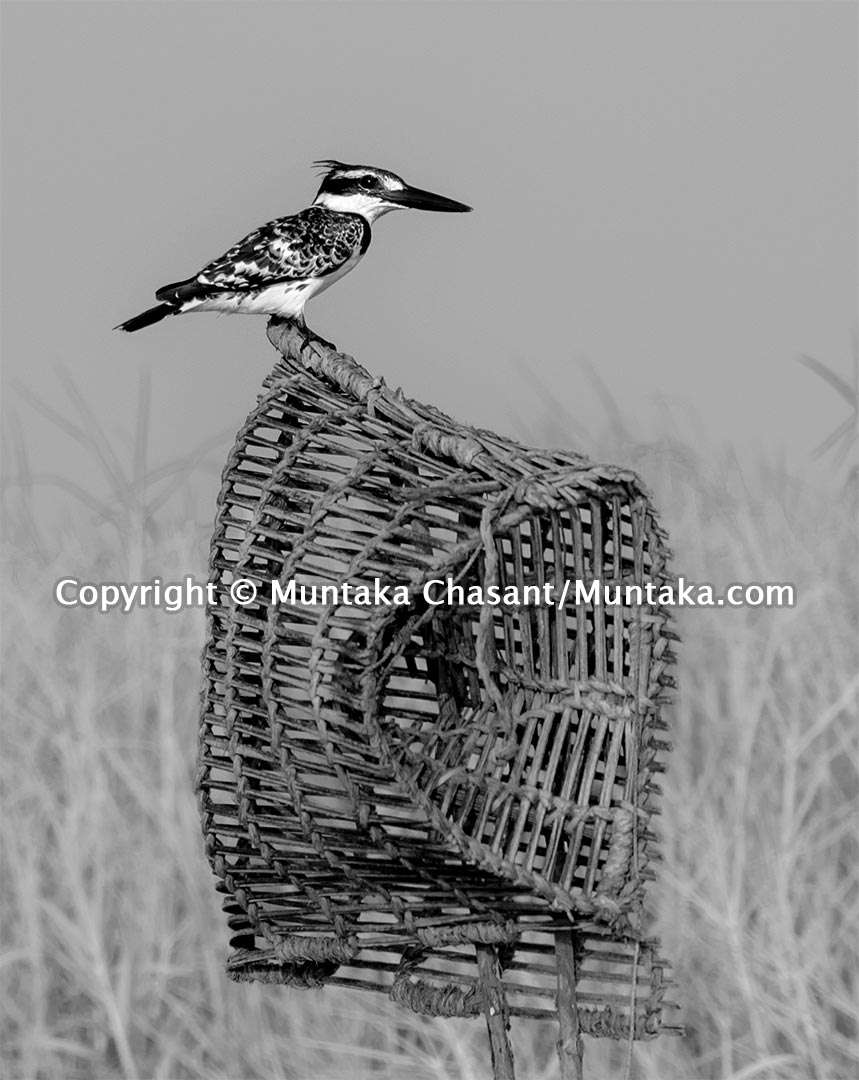 Pied kingfisher rests on the shoulder of a handmade crab trap. Accra, Ghana. Copyright © Muntaka Chasant