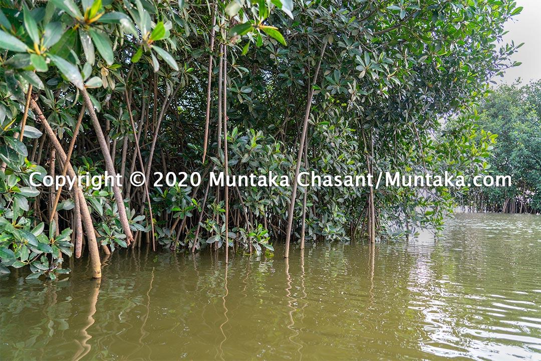 Red mangroves (Rhizophora-racemosa). Copyright © 2020 Muntaka Chasant