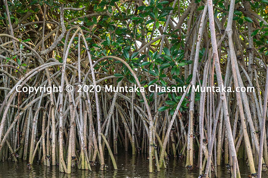 Red mangrove aerial roots. Copyright © 2020 Muntaka Chasant
