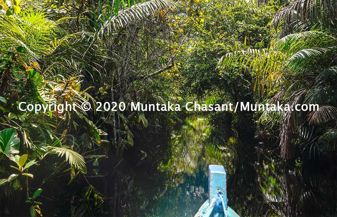 A jungle near the Nzulezo stilt village in Ghana. These tangled vegetation are part of the Amanzuri wetlands. Copyright © 2020 Muntaka Chasant