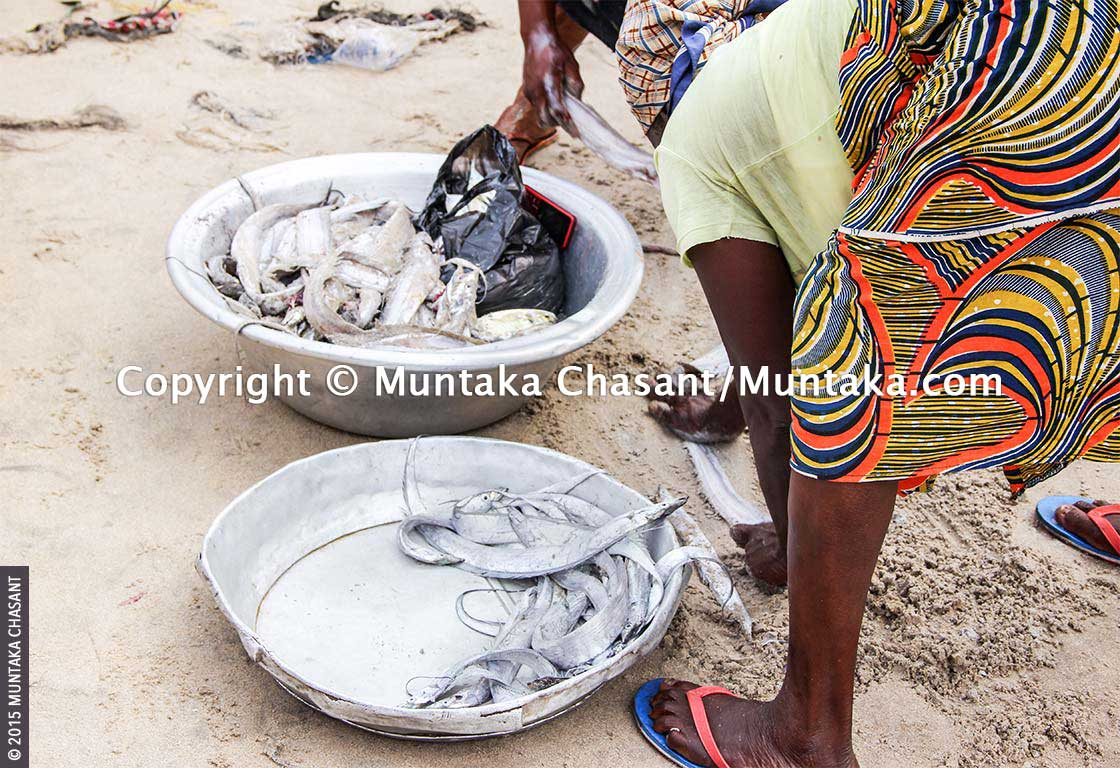 Fish processors in Ghana use beach sand to remove a silvery coat on the body of a fish species. Copyright © 2015 Muntaka Chasant