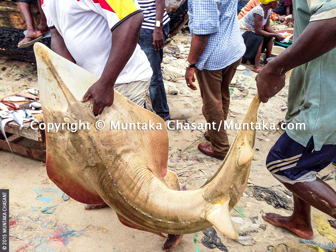 Fish catch in Ghana: Fishermen in Ghana unload what appeared to be a Guitarfish at the Jamestown fish landing site. Copyright © 2015 Muntaka Chasant