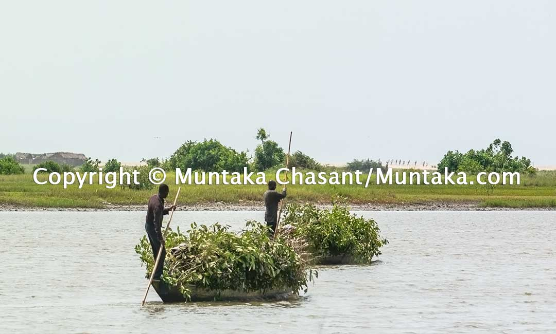 "Fishermen cut down mangrove trees and transport the branches on artisanal canoes over the Densu River to construct ""Atidza"" brush parks to entrap blackchin tilapia. Copyright © 2020 Muntaka Chasant"